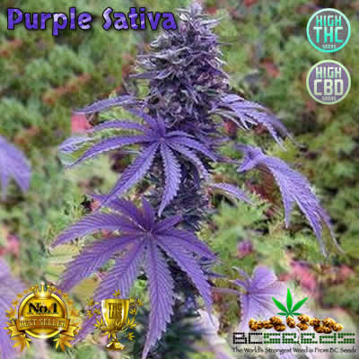 Purple Sativa