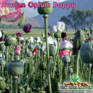 Russian Opium Poppy Seeds
