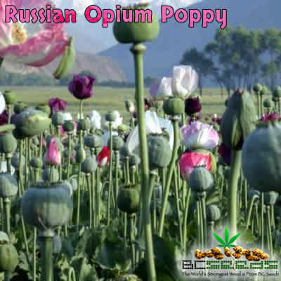 Russian Opium Poppy Seeds