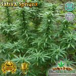 Sativa Sphynx
