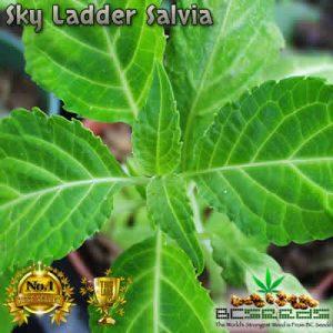 Sky Ladder Salvia