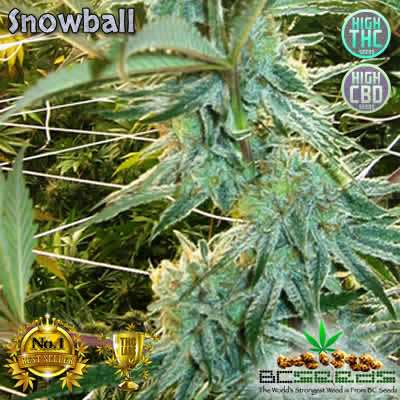 Snowball Bud
