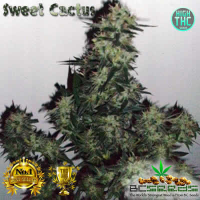 Cactus Sweet Bud BC Seeds