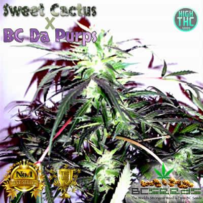Sweet Cactus x Da Purps