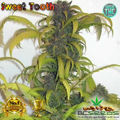 Sweet Tooth Bud