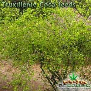 Truxillense Coca Seeds