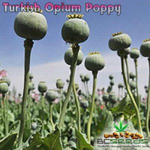 Turkish Opium Poppy Seeds