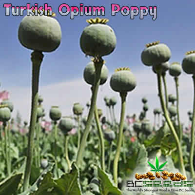 Turkish Opium Poppy Seeds