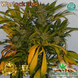 Warlock Bud