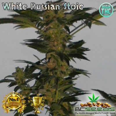 White Russian Stoic