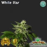 White Star Bud