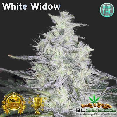 White Widow Bud
