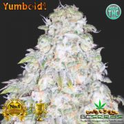 Yumboldt Bud