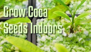 Grow Coca Seeds Indoors