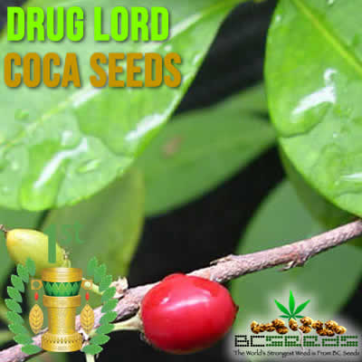 Drug Lord Coca Seeds