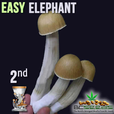 Easy Elephant Shrooms