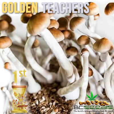 Golden Teachers Shrooms