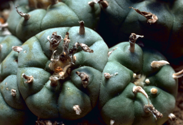 Peyote Invokes Spiritual Insight