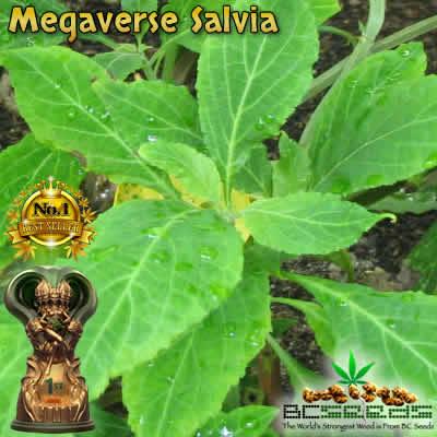 Megaverse Salvia
