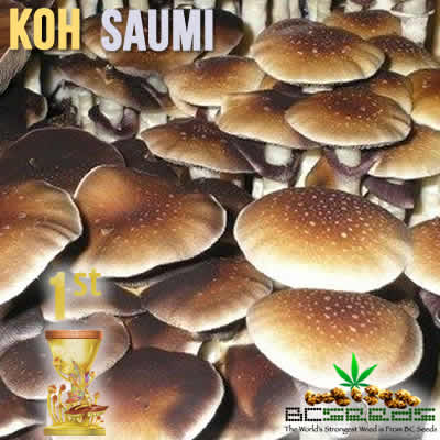 Thailand Koh-Saumi Magic Mushrooms