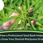 How a Professional Seed Bank Helps You Grow Your Desired Marijuana Strains?