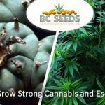 6 Ways to Grow Strong Cannabis and Escalate Yield