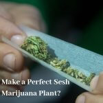How Can You Make a Perfect Sesh from Your Marijuana Plant?
