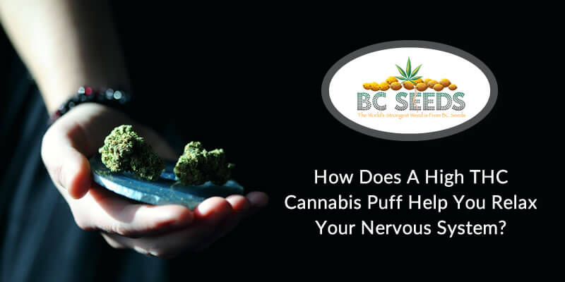 How Does A High THC Cannabis Puff Help You Relax Your Nervous System