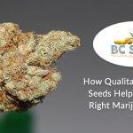 How Qualitative Cannabis Seeds Help You Get the Right Marijuana Strain