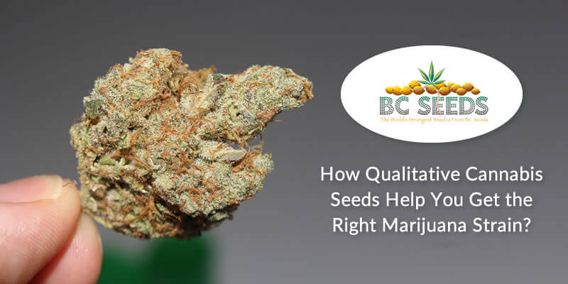 How Qualitative Cannabis Seeds Help You Get the Right Marijuana Strain