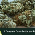 A complete guide to harvest marijuana seeds