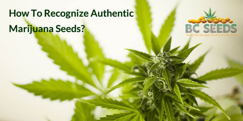 How To Recognize Authentic Marijuana Seeds?
