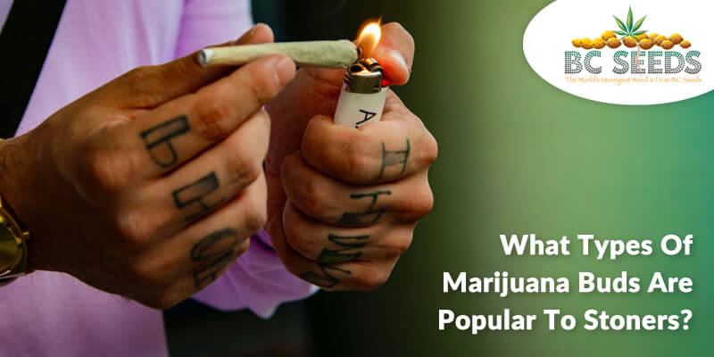 What Types of Marijuana Buds Are Popular to Stoners