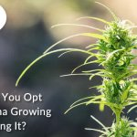 Why Should You Opt for Marijuana Growing Instead Buying it