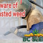 Beware of blasted weed