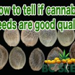 How to tell if cannabis seeds are good quality