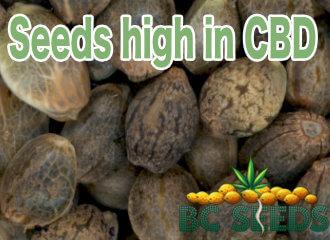 Seeds high in cannabidoil