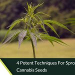 4 Potent Techniques for Sprouting Cannabis Seeds