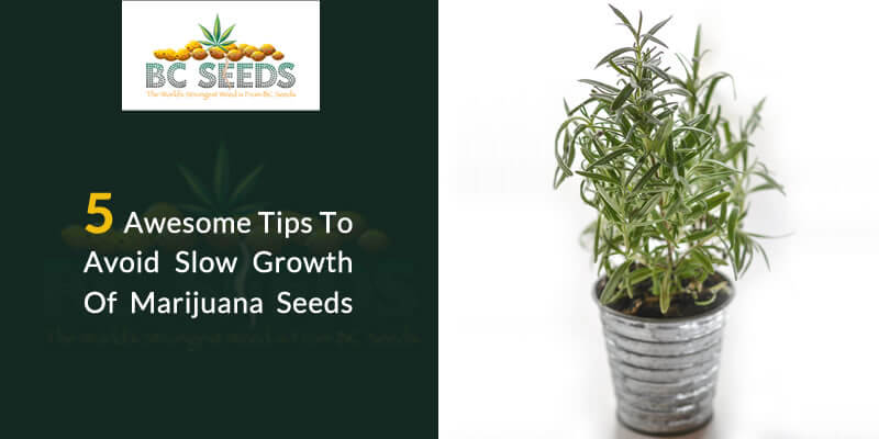 5 Awesome Tips To Avoid Slow Growth Of Marijuana Seeds