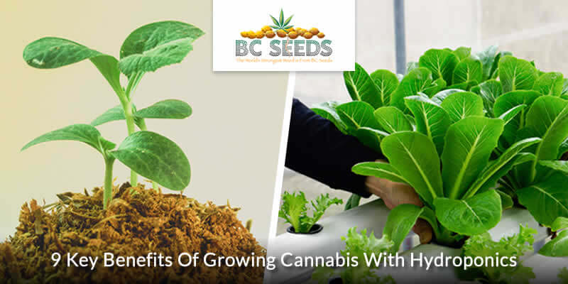 9 Key Benefits Of Growing Cannabis With Hydroponics