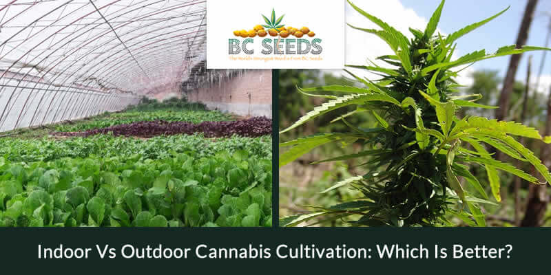 Indoor Vs Outdoor Cannabis Cultivation Which Is Better