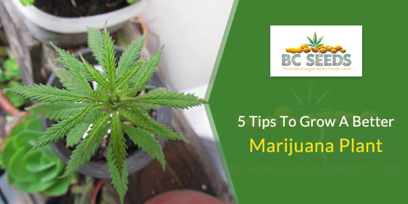 5 Tips to Grow a Better Marijuana Plant