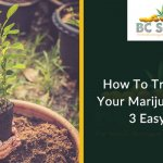 How To Trim & Crush Your Marijuana Plant In 3 Easy Steps