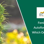 Feminized And Autoflowering Seeds Which One Is Prefered
