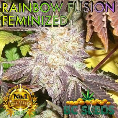 Rainbow Fusion Feminized