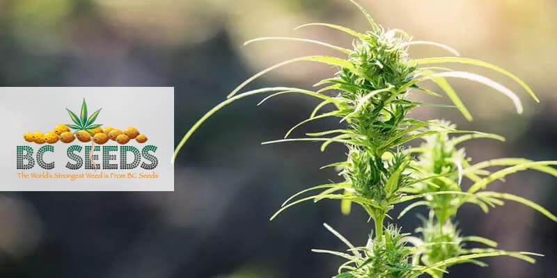 How To Take Care Of Marijuana Plant