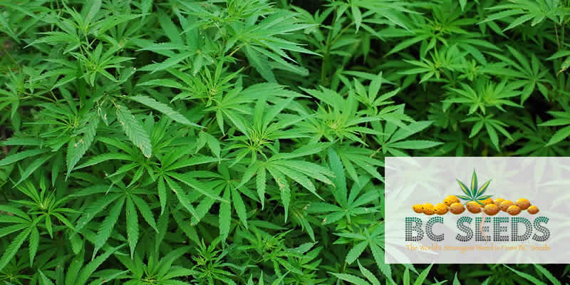 Learn Why Growing Cannabis Yourself Is Getting So Popular!