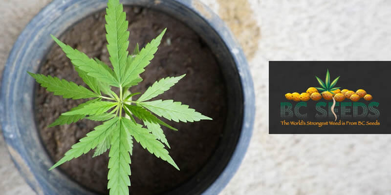 Trimming Cannabis Plant What Should You Know