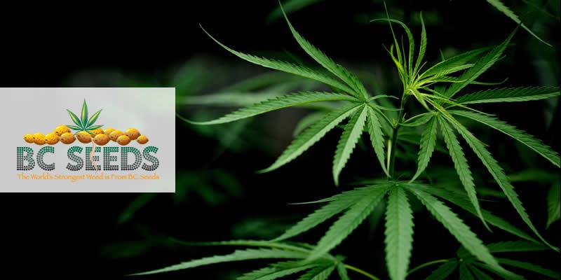 Why Grow Marijuana Yourself