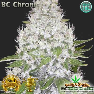 BC Chronic Bud